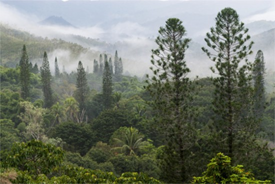 Palmiers et conifères